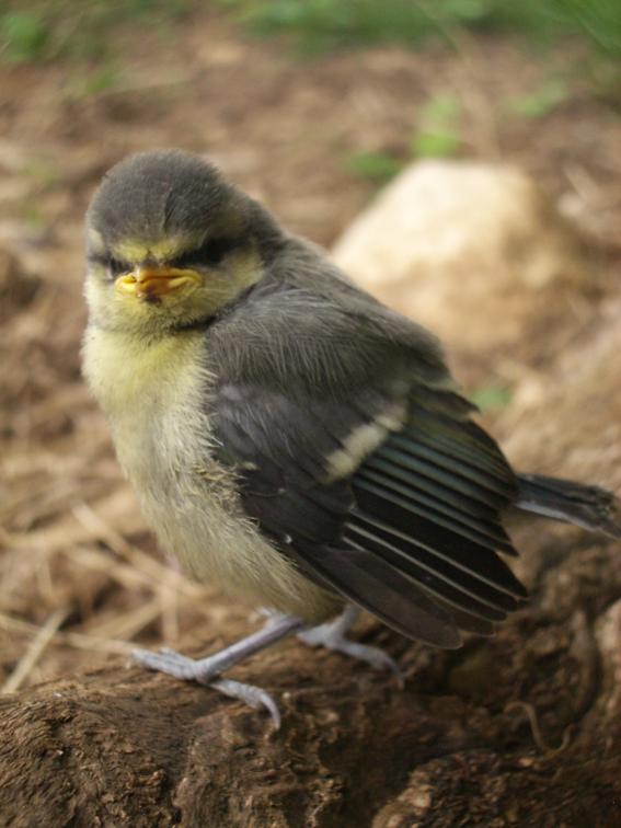 grumpy little bird